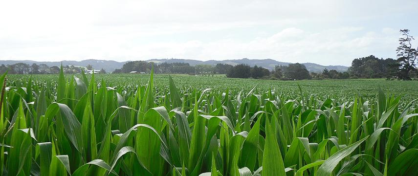 header-maize